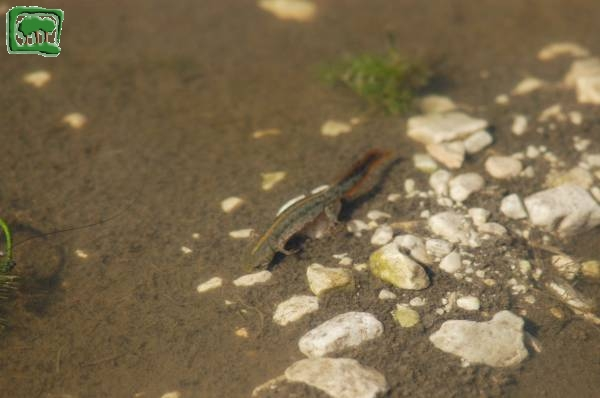 Crested newt, Triturus carniflex