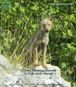 Lupo (Canis Lupus)