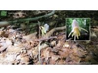 Epipogio (Epipogium aphyllum)