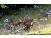 Cervo con femmine