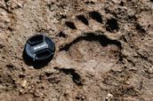 Tracce su fango Orso bruno marsicano