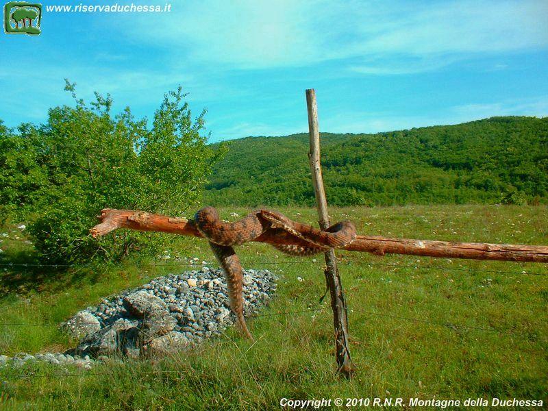Vipera comune (foto 5), clicca per foto successiva