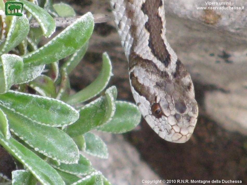Orsini's viper, Vipera ursinii